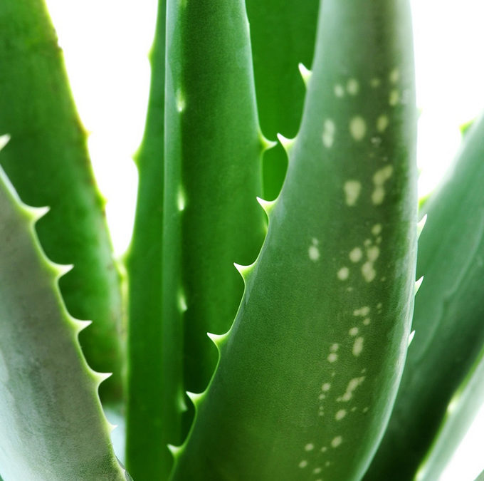 Aloe Ferox- The Hero Ingredient